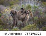 mother cape baboon with baby... | Shutterstock . vector #767196328