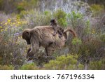 mother cape baboon with baby... | Shutterstock . vector #767196334