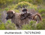 mother cape baboon with baby... | Shutterstock . vector #767196340