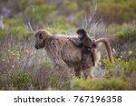 mother cape baboon with baby... | Shutterstock . vector #767196358