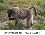 mother cape baboon with baby... | Shutterstock . vector #767196364