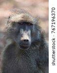 cape baboon looking strait... | Shutterstock . vector #767196370