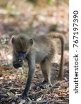 cape baboon searching and... | Shutterstock . vector #767197390