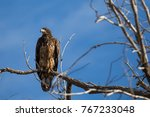 juvenile bald eagle in tree | Shutterstock . vector #767233048