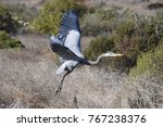 Great Blue Heron Flight...