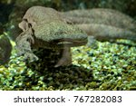 chinese giant salamander  | Shutterstock . vector #767282083
