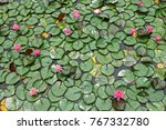 lotus flowers in a pond.... | Shutterstock . vector #767332780