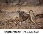 chacma baboon mother and... | Shutterstock . vector #767333560