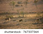 three chacma baboons foraging... | Shutterstock . vector #767337364