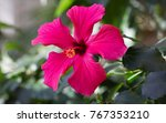 bright pink large flower of... | Shutterstock . vector #767353210