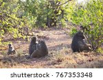 family chacma baboon resting on ... | Shutterstock . vector #767353348