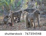 family chacma baboon resting on ... | Shutterstock . vector #767354548