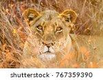 close up of an african lion....   Shutterstock . vector #767359390