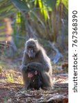 mother and baby chacma baboon... | Shutterstock . vector #767368390