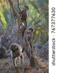 young baby chacma baboon... | Shutterstock . vector #767377630