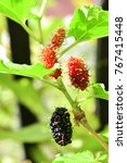 fresh mulberry on tree branch | Shutterstock . vector #767415448