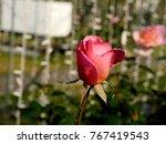 Small photo of Japanese Rose, ( rugosa rose, beach rose or ramanas rose )