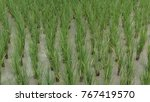 young rice field | Shutterstock . vector #767419570