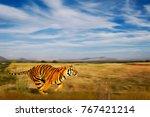 Bengal Tiger Natural Habitat Bengal - Fine Art prints