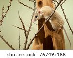 Small photo of spiny mouse (acomys) climbs over the bizarre stump among the twigs