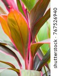 cordyline leaves cordyline... | Shutterstock . vector #767526940