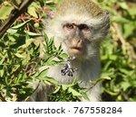 amazed face of a baboon monkey | Shutterstock . vector #767558284