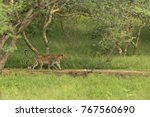 a leopard mother and her cub... | Shutterstock . vector #767560690
