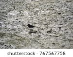 juvenile willet searching for... | Shutterstock . vector #767567758