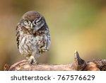 Little Owl  Athene Noctua  Is...