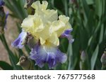 Beautiful Two Tone Iris. The...