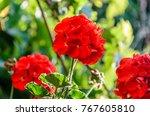 red pelargonium  geraniums... | Shutterstock . vector #767605810