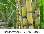 Sugarcane  agriculture economy.