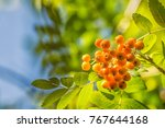 Small photo of Cluster of American Mountain Ash in the sun with blurred background
