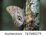 Owl Eye Butterfly Resting On A...