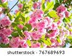 Sakura  Cherry Blossom  Cherry...