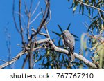 "Small photo of Collared Sparrowhawk (Accipiter cirrocephalus) race ""cirrocephalus"". Alice Springs, Northern Territory, Australia"