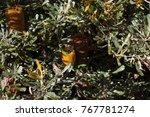 yellow flower cones of banksia...   Shutterstock . vector #767781274