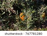 yellow flower cones of banksia...   Shutterstock . vector #767781280