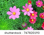 Pink Cosmos Flower On Green...