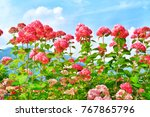 a pink and red flowers in japan ... | Shutterstock . vector #767865796