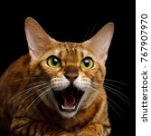 Small photo of Aggressive Bengal Cat with mad eyes opened mouth hiss on isolated on Black Background, Front view