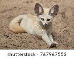 fennec fox  vulpes zerda .... | Shutterstock . vector #767967553