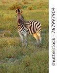 the plains zebra  equus quagga  ... | Shutterstock . vector #767997904