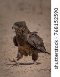Small photo of Sub adult Bateleur Eagle walking in the sand