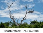 jabiru stork on the nest high... | Shutterstock . vector #768160708