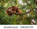 howler monkeys really high on a ... | Shutterstock . vector #768160720