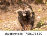 racoon dog in autumn | Shutterstock . vector #768178630