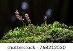 macro of erica or ling or... | Shutterstock . vector #768212530