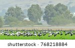 cranes  in a field foraging. ... | Shutterstock . vector #768218884