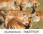 family herd of impala standing... | Shutterstock . vector #768257029